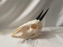 Crâne complet d'un céphalope de grimm ou duiker chasse trophée taxidermie