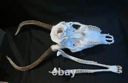 Massacre de daguet cerf crâne complet chasse taxidermie ostéologie