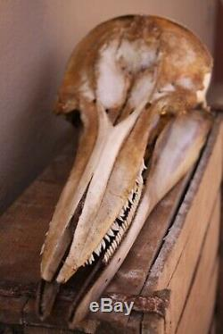 Rare crane de mammifère marin complet