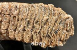 Superbe Molaire De Mammouth complète avec racine